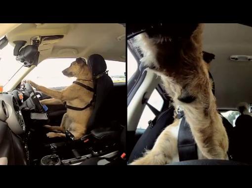 Знакомьтесь Портер. Первая в мире собака водитель.
