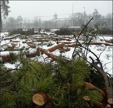 """В Киеве """"лесорубы"""" уничтожили сотню 100-летних сосен."""
