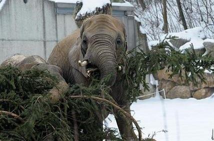 Главную елку Вены скормили слонам и носорогам