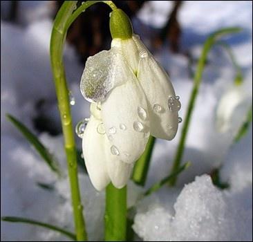 Среди зимы зацвели подснежники