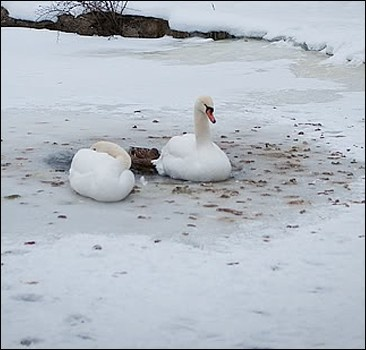 Сотрудники МЧС спасли примерзших ко льду лебедей
