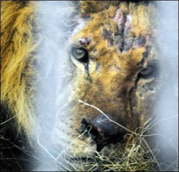 Лев Симба: Люди, вы звери!