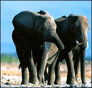 Слоны, оказывается, бегать не умеют