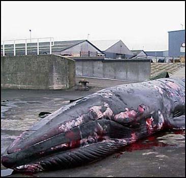 На Японию подадут в суд за убийство китов