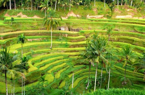 Рис защищает от гипертонии и атеросклероза