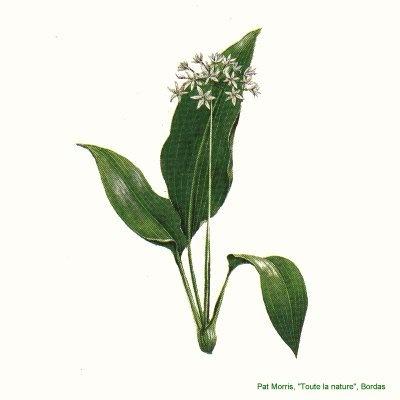 ЧЕРЕМША (Allium ursinum)