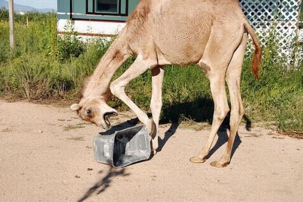 Верблюд с мусорным ведром (19 фото)