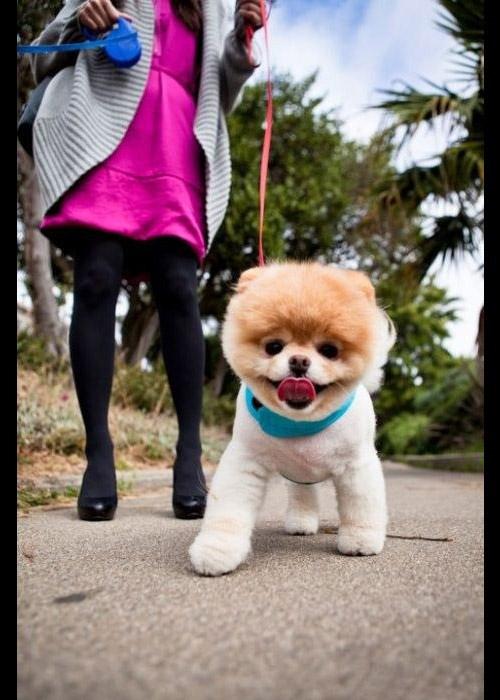 Очаровательная собачка Бу рвет Интернет. ФОТО