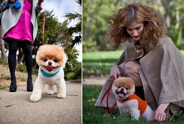 Бу (Boo) – собака, покорившая весь мир