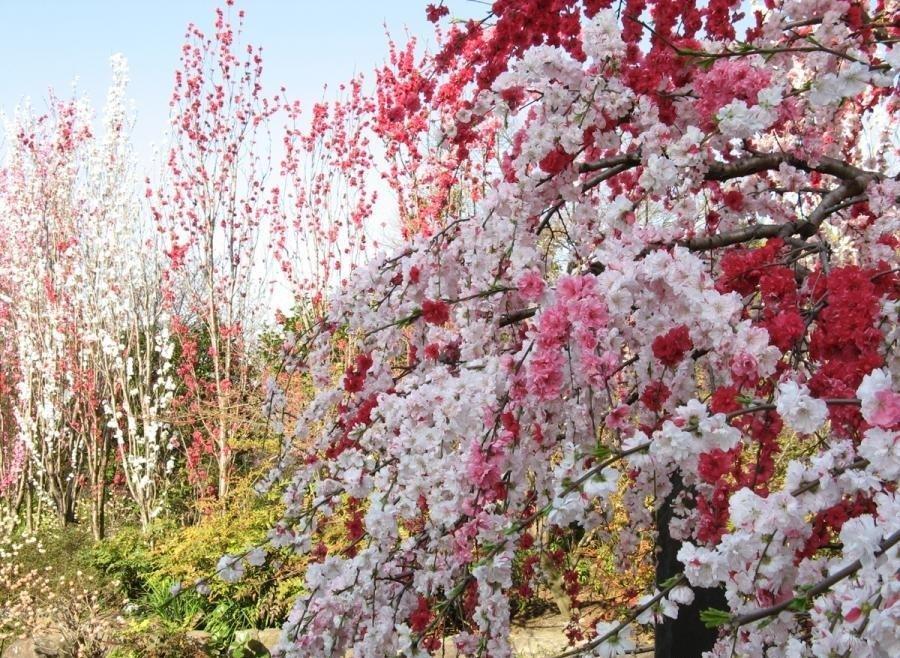 япония цветы картинки 4