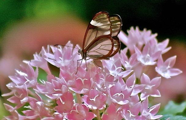 Дивовижні метелики зі скляними крилами