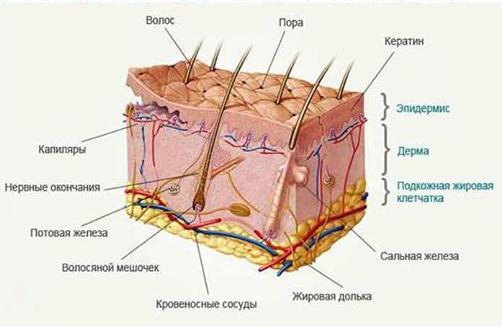 10 интересных фактов о коже